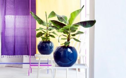 Verzorgingstips Bananenplant (Musa) - Tuincentrum Coppelmans